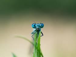 Ansicht auf die Augen einer blauen Libelle.