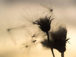 Fliegender Samen einer Distel im Gegenlicht.
