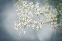 Close up of gypsophila white flowers