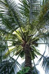 Palme & Kokosnuss