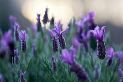 Lavendel am Abend
