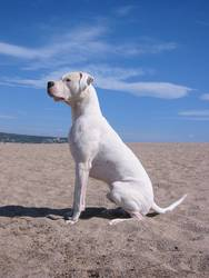 Odin - Dogo Argentino Rüde