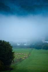 Nebel über Schafen