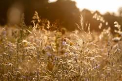 Wildblumenwiese in der goldenen Nachmittagssonne