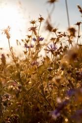 Kornblumen im Gegenlicht