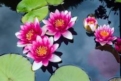 Meditierende Teichrosen in pink