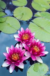 Meditierende Teichrosengruppe in pink