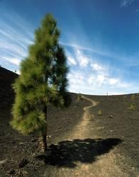 Teneriffa - Baum a. Pico de Teide