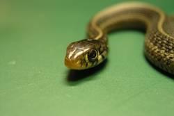 Babyschlange