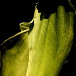 Grüne Calla