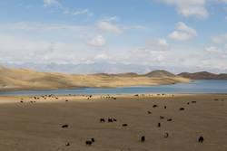 Yaks am Tulpar See in Süd-Kirgisistan weiden lassen