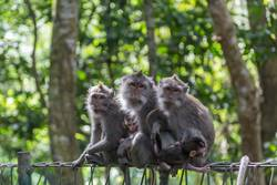 Affe Familie