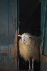 Schaf in der Tür