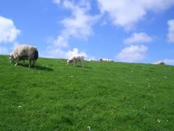 Faulenzen als Gruppenzwang bei Schafen