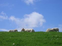 Faulenzen als Gruppenzwang bei Schafen - Part II