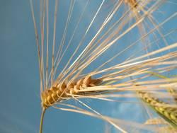 Getreide im Wind