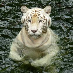 Swimming Tiger hidden Dragon