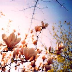 kirschblüten- äh magnolienvernarrt