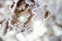 Wintersonne im Eichenlaub