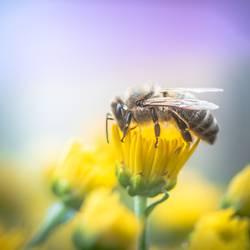 wertvoll | Honigbiene