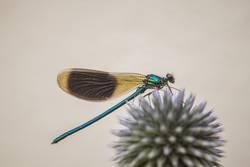 blaugrün schillernd