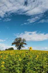 Herbstbegrünung mit Sonnenblumen