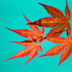 leuchtende Blätter