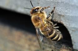 Biene - Apis mellifera