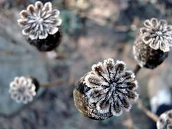 winterblüte 2