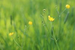 Buttercups in Spring