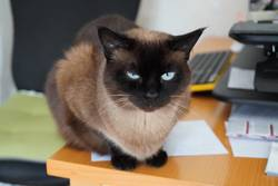 Katze auf unordentlichem Schreibtisch