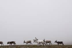 Rentiere im Nebel