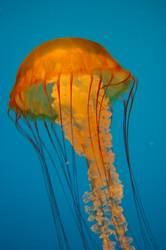 Australischer Jellyfish