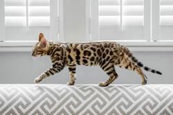 A Bengal cat walking along the back of a modern sofa.
