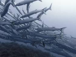 Kleine Fische auf der Flucht... (oder eher große Barrakudas)
