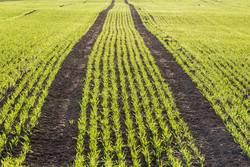 Ein Feld mit jungem Getreideaustrieb als Wintersaat