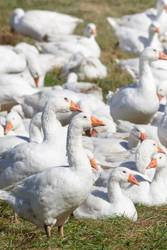 A flock of white geese in the meadow
