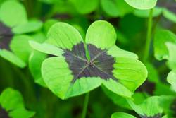 Close-up of a four-leaf lucky clover leaf