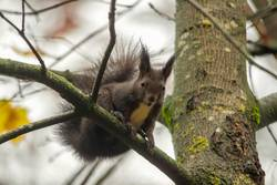 European brown squirrel in summer coat on a branch in the forest