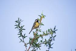 Great tit on a willow branch