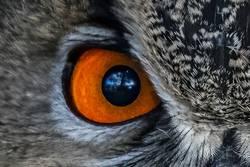 closeup of an Owl eye