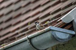 A sparrow sits on a gutter