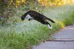 Cat on Mouse Hunt leaps in maturing covered grass