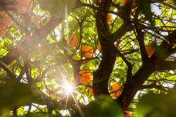 The sun shines through the branches of an orange tree