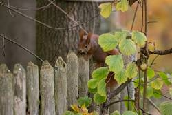 European brown squirrel