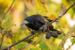 Rook searches for walnuts on a tree
