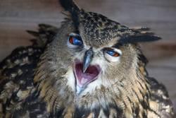 European eagle owl looks into the camera
