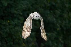 Snowy owl in flight with outstretched wings