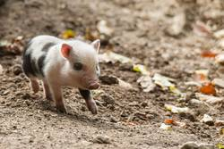 Hanging bellied pig babies play in the mud
