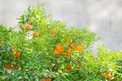 branches of an orange tree with ripe oranges